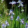 Swallowtail on Irises