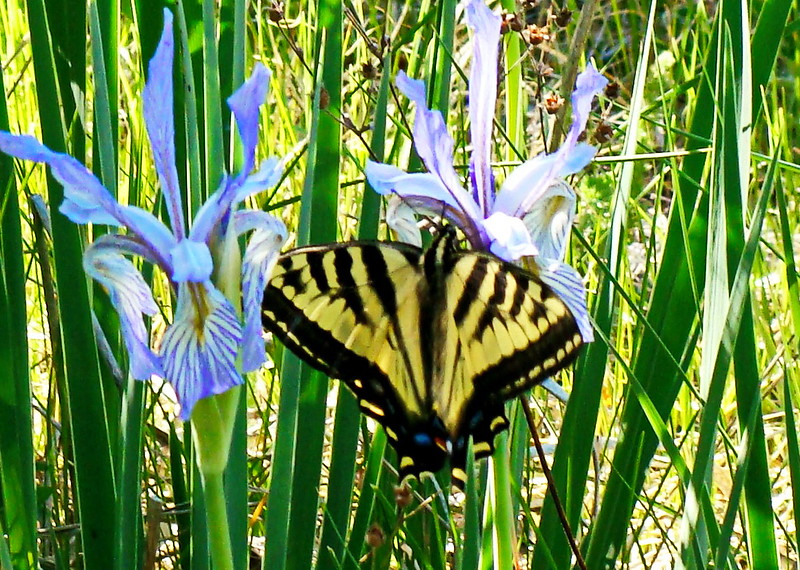 Yellow and Black Swallowtail on Blue Iris