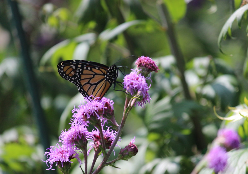 Monarch on Liatris in the Butterfly Garden
