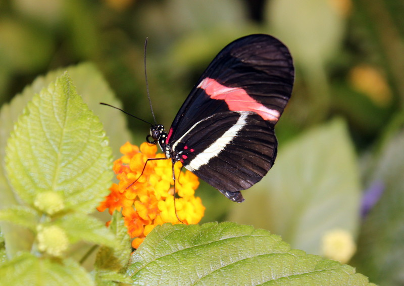Black, Red and White Butterfly