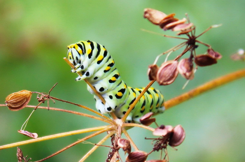 Black Swallowtail Caterpillar Holds a Twig