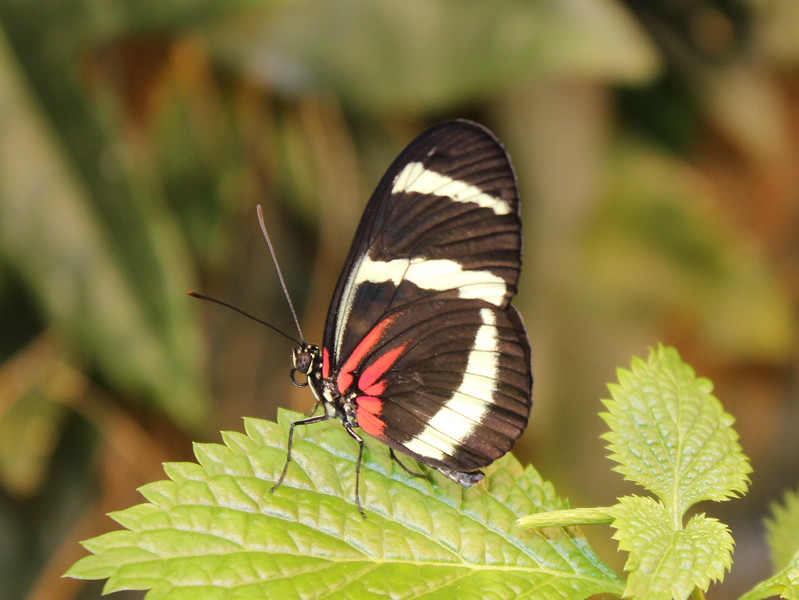 Black Butterfly with White Stripes and Red Flame Stripes