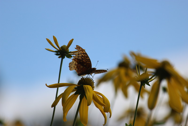 Old Great Spangled Fritillary Butterfly