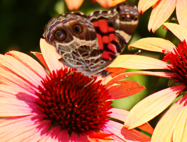 American Lady Butterfly on Echinacea