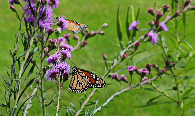 Monarchs on Liatris in the Summer Garden