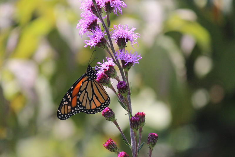 Monarch on Liatris