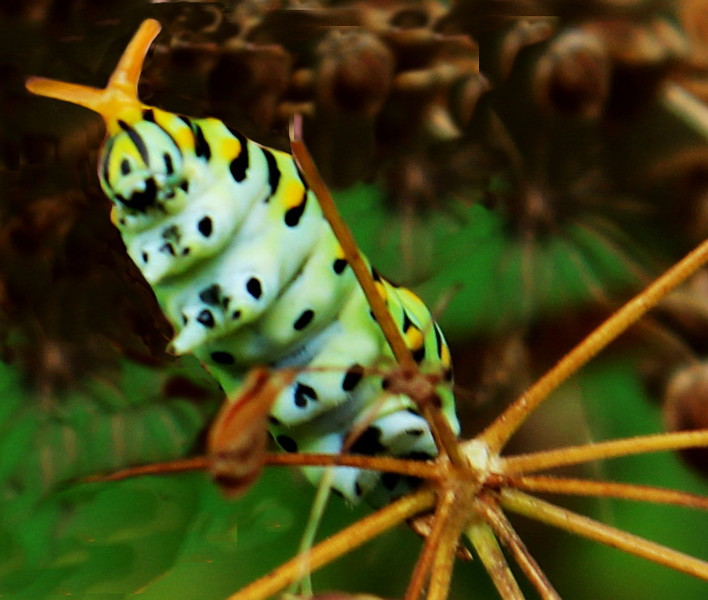 Black Swallowtail Caterpillar Displays Orange Osmeterium
