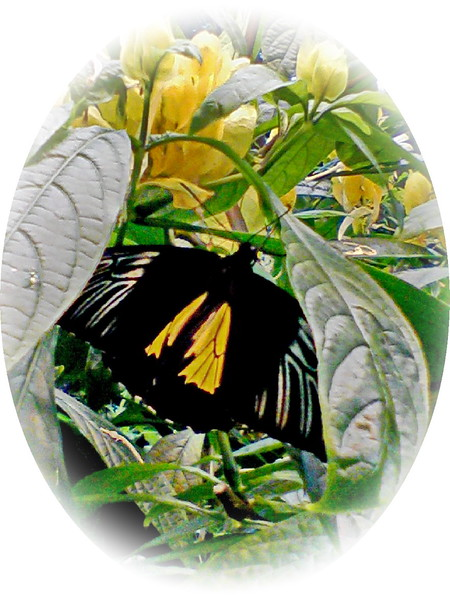 Southern Birdwing Butterfly