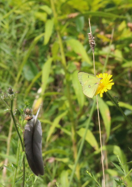 Green Cabbage Butterfly on a Dandelion Blossom with a Feather