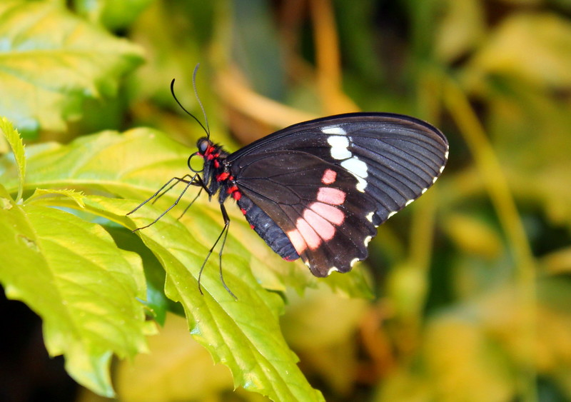 Black, White, and Red Butterfly