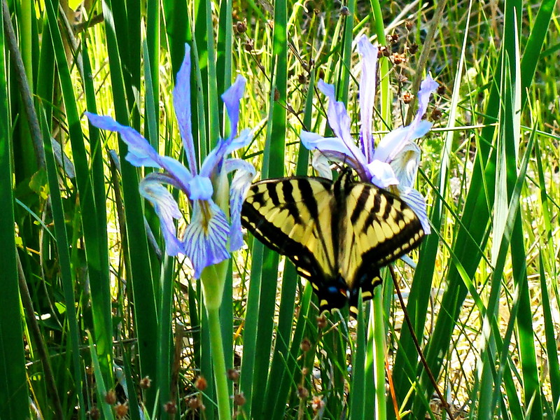 Yellow and Black Swallowtail on Wild Blue Irises
