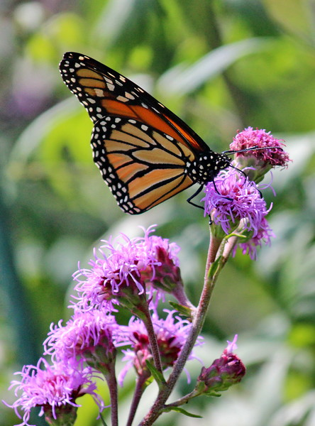 Monarch Butterfly on Meadow Blazing Star Liatris Blossom