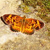 Pearl Crescent Brushfoot Butterfly