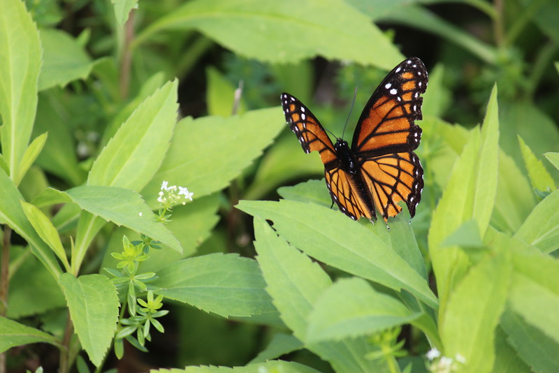 Viceroy Butterfly in the Wild