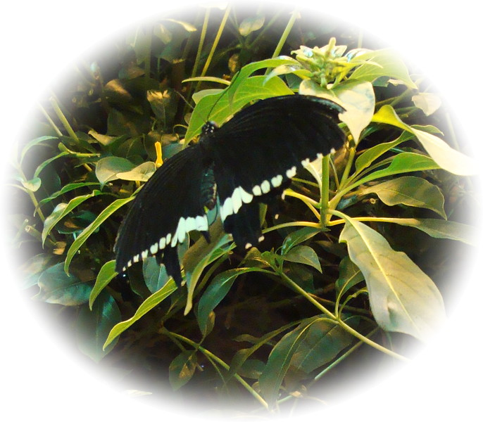 Papilio Polytes Butterfly