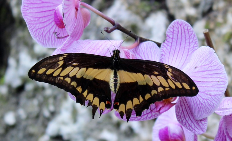 Giant Swallowtail Butterfly on a Pink Striated Orchid