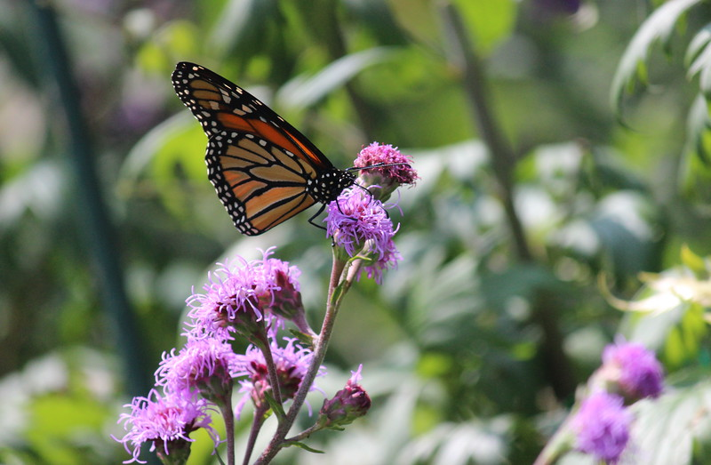 Monarch Butterfly on LIatris Blossom