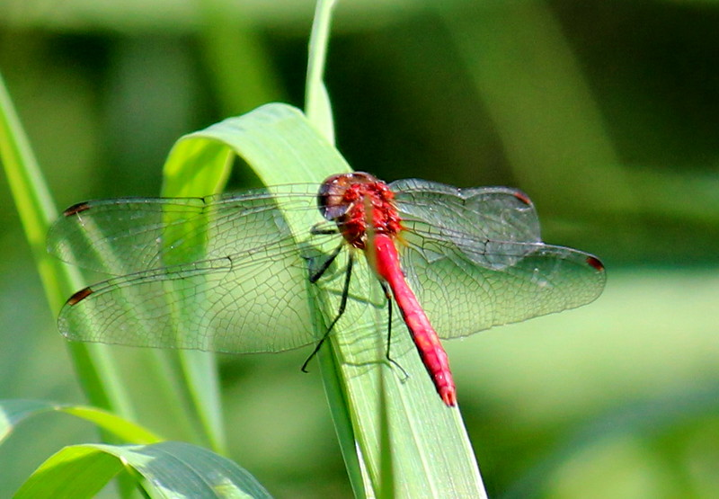 Red Dragonfly near the Creek