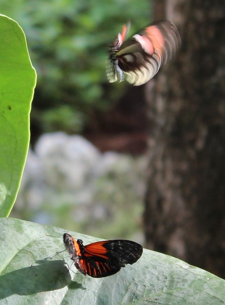 Butterflies at Play
