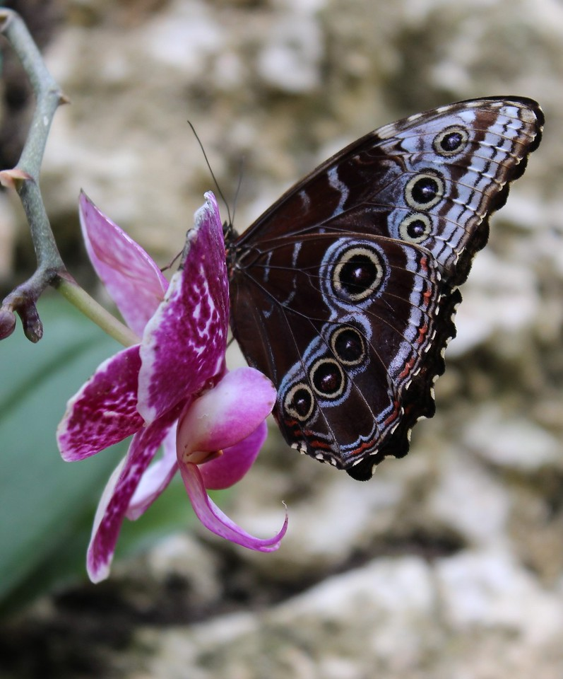 Blue Morpho Butterfly on Fuchsia Orchid