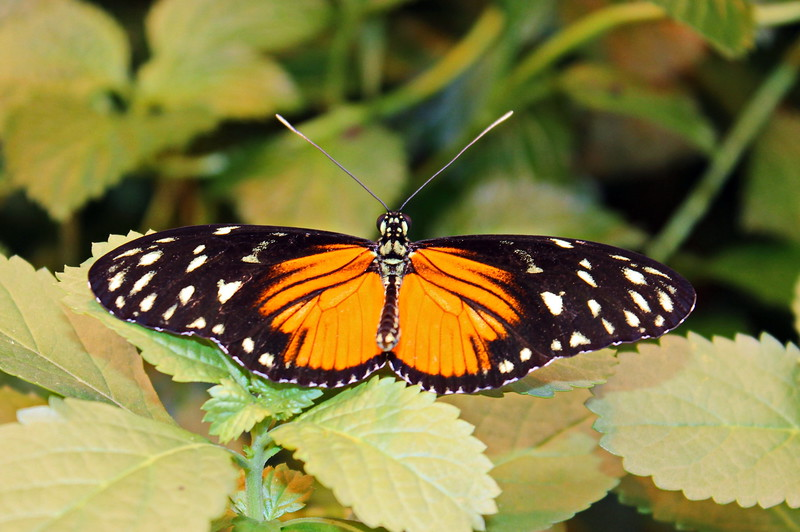 Orange and Black Longwing Butterfly with White Spots