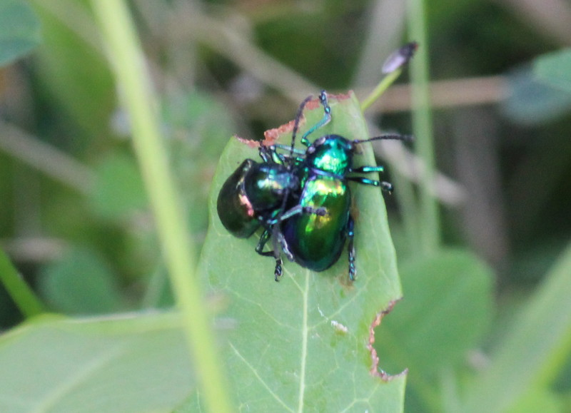 Iridescent Beetles Paairing