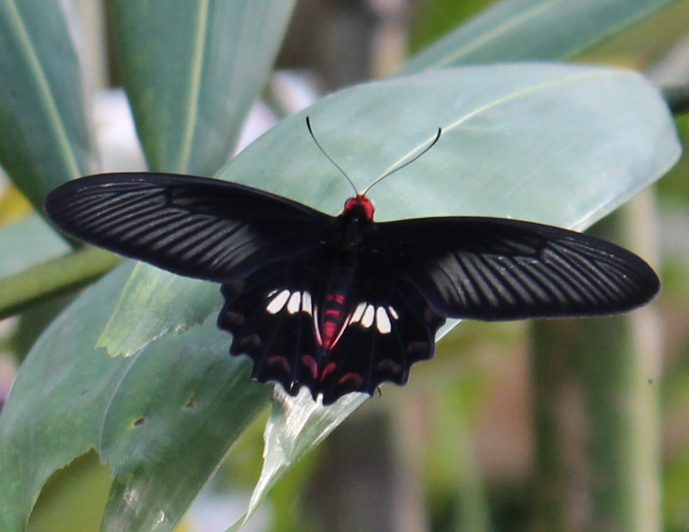 Black, White and Red Wingspan Butterfly