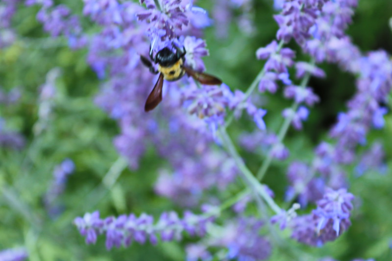 Bee on Lavendar Wildflowers