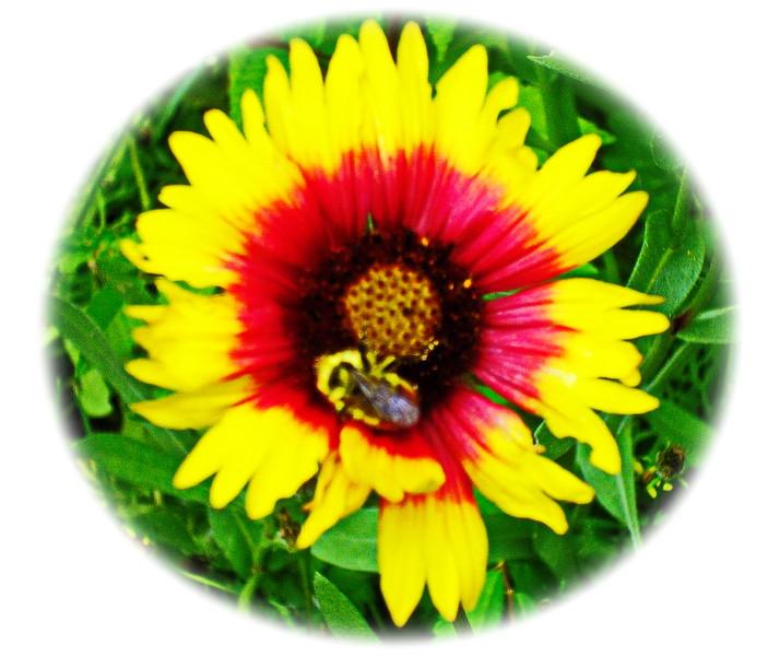 Bee on Gaillardia