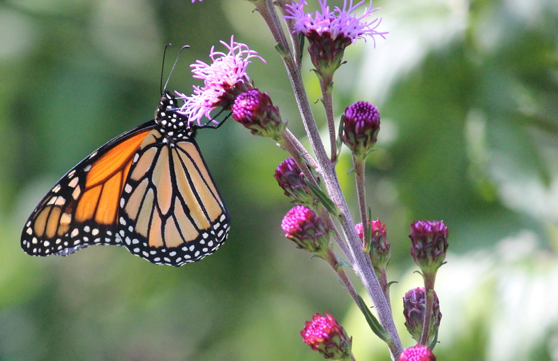 Monarch Butterfly on a Favorite Liatris