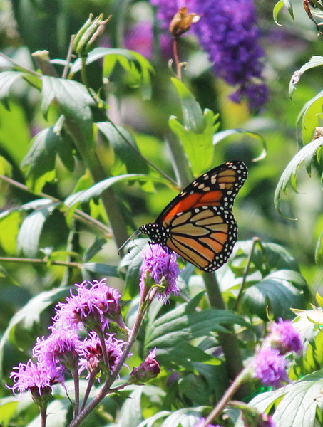 Monarch Butterfly on Meadow Blazing Star Liatris