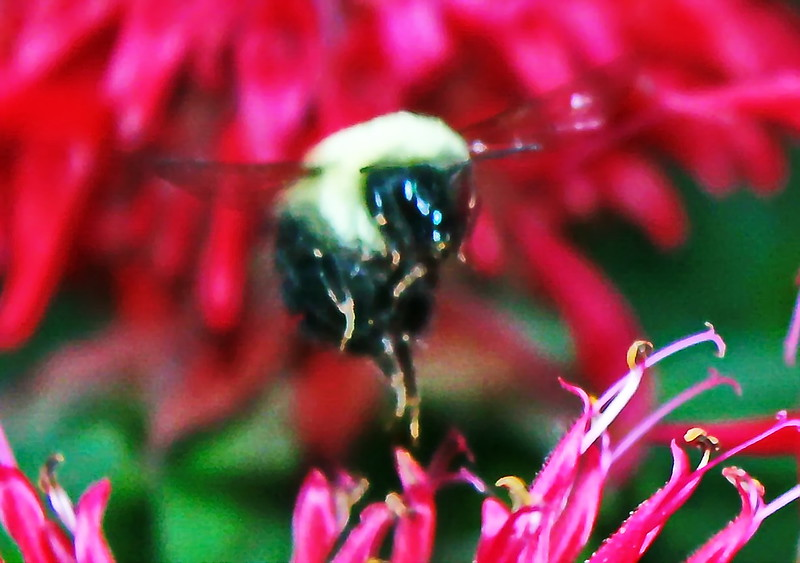 Bee Flies Toward a Bee Balm Blossom