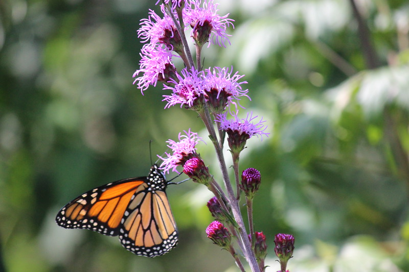 Monarch on Magnet Liatris Flower