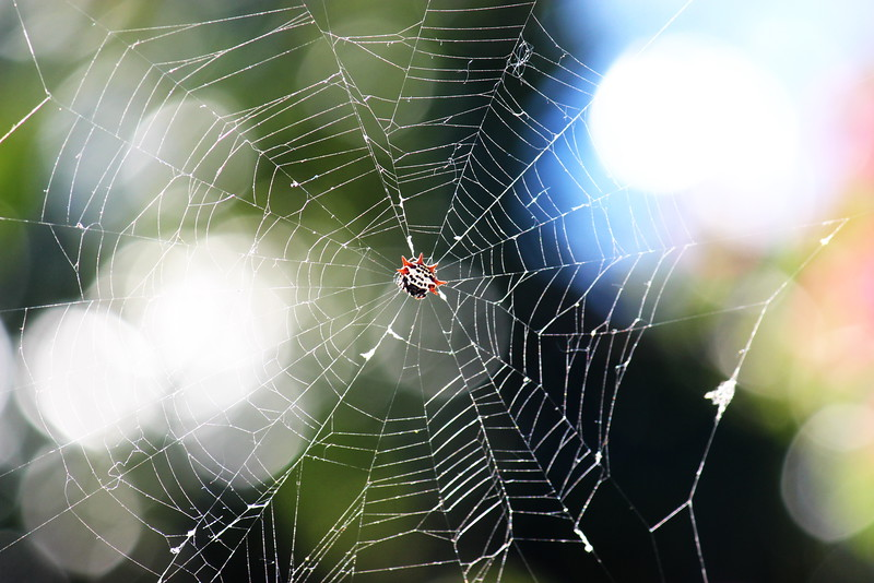 Spider's Underside in Its Web