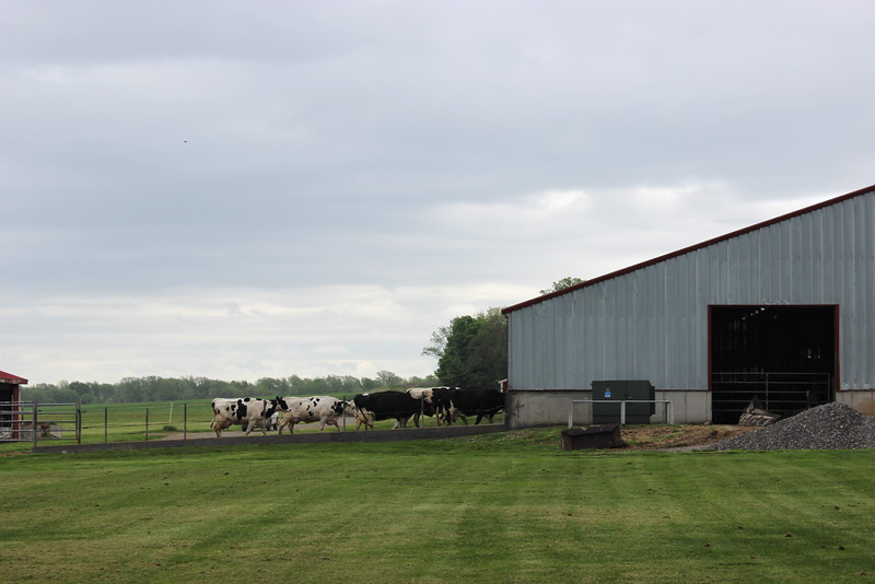 Cows Walking to the Feeding Barn