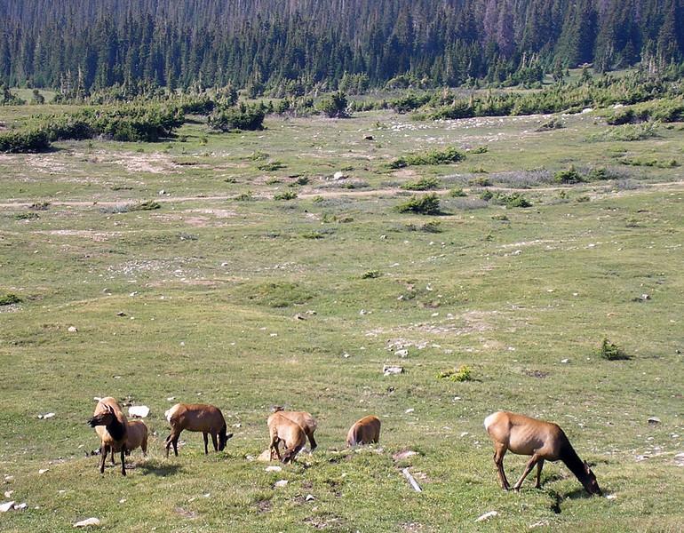 Elk Grazing in the Rockies