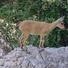 Young Nubian Ibex