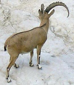 Adult Nubian Ibex