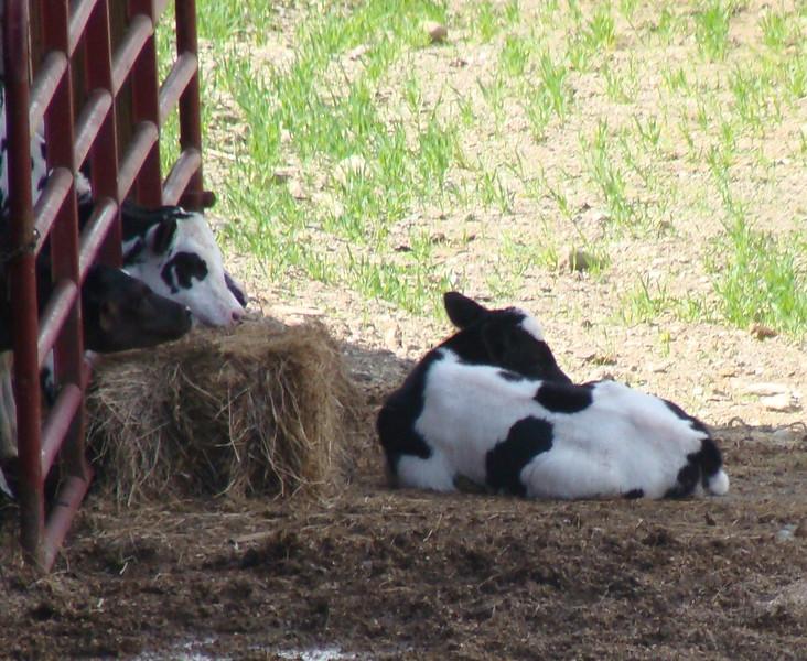 Holstein Calves on the Farm