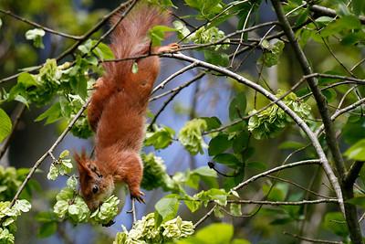 Rødt egern spiser elmetræets manna, Red sqirrel (Sciurus vulgaris), eating elm tree samaras, Himmerland