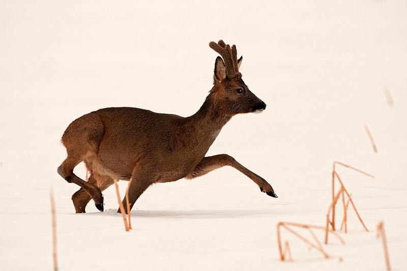 Rådyr i dyb sne, Roe deer in deep snow, Denmark