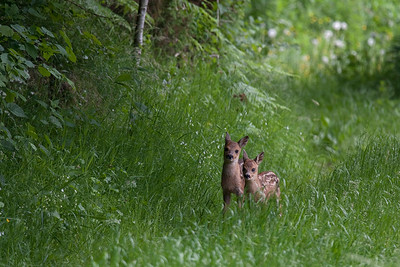 To nysgerrige små rålam. Two curious Roe Deer fawns not more than a few weeks old.