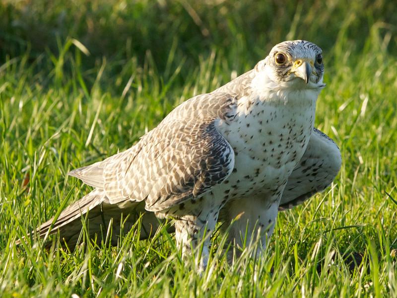 Valk, falcon