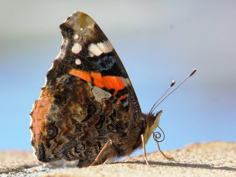 Deze vlinder kwam zo maar naast mij zitten terwijl ik probeerde libelles te fotograferen. Alleen al die kleuren vind ik zo mooi...