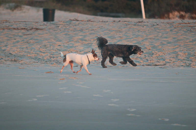 Dogs Run the Beach
