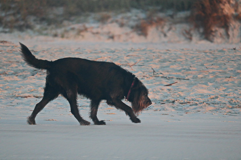 Sniffing the Beach at Dawn