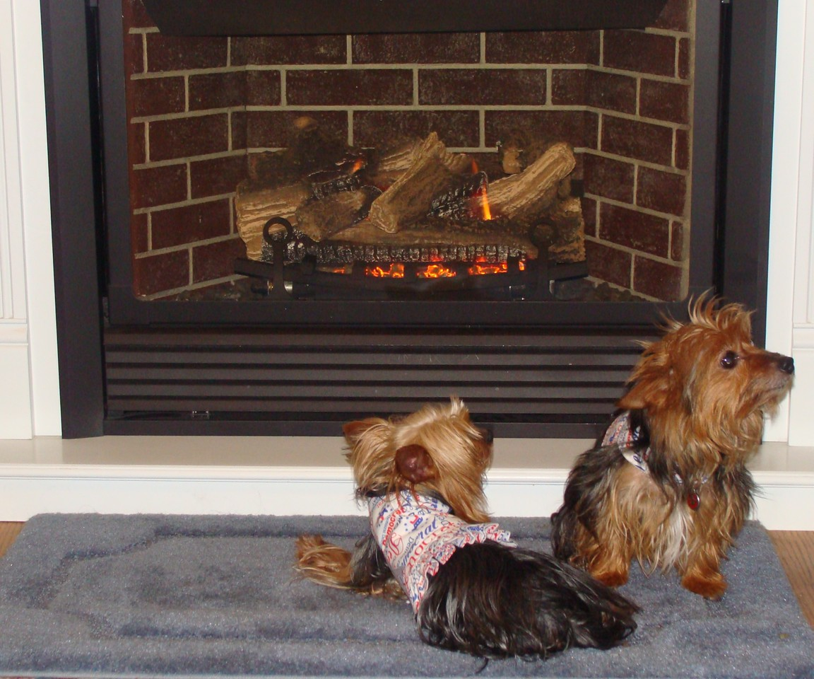 Yorkies by the Fireplace