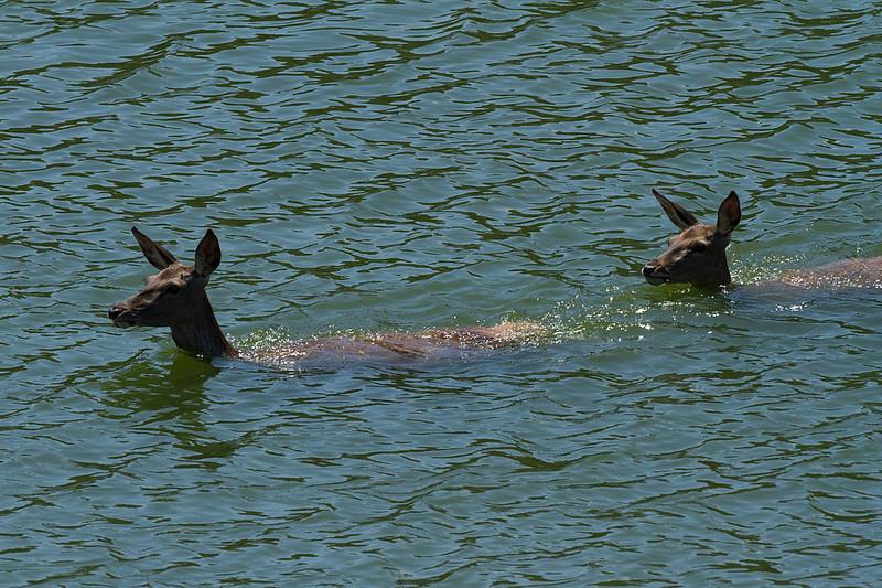 Hjorte krydser floden