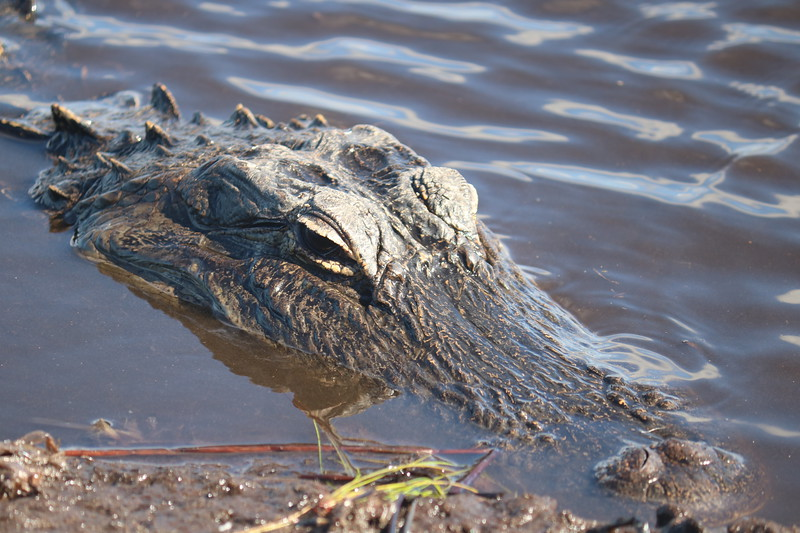 Alligator's Snout