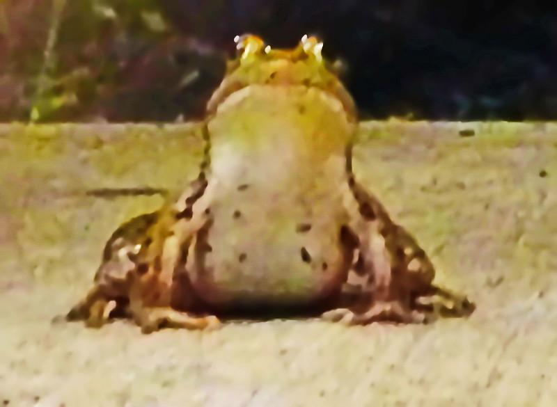 Toad on Pittsford Plaza Sidewalk